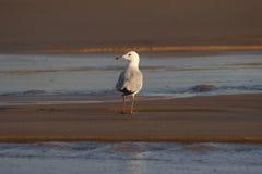 seagull παραλιών Στοκ Φωτογραφίες