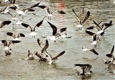 Seagull παροξυσμός σίτισης στο ηλιοβασίλεμα στοκ εικόνες με δικαίωμα ελεύθερης χρήσης