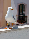 Seagull περπάτημα Στοκ Εικόνες