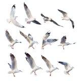 Seagull πετάγματος ενέργειες που απομονώνονται στο λευκό Στοκ φωτογραφίες με δικαίωμα ελεύθερης χρήσης