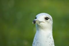Seagull πορτρέτο Στοκ εικόνα με δικαίωμα ελεύθερης χρήσης