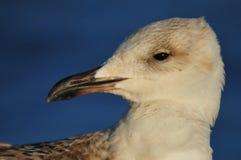 Seagull πορτρέτο στοκ εικόνες