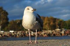 Seagull πορτρέτο στοκ εικόνα
