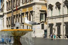 Seagull ποτά Στοκ Φωτογραφία