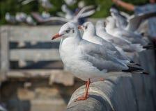 Seagull, πουλί, θάλασσα, ζώο Στοκ Φωτογραφία