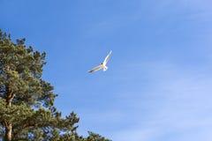 Seagull, 1 πουλί που πετά στο μπλε ουρανό, δέντρα πεύκων, φύση Βαλτική, Ν Στοκ Εικόνα