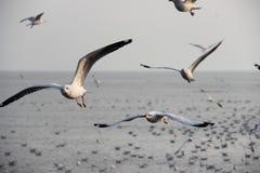 Seagull πουλιά Στοκ Εικόνα