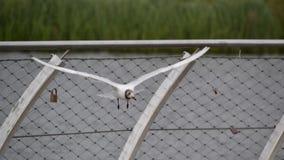 Seagull πουλί κατά την πτήση Στοκ Εικόνες