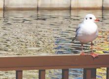 Seagull πουλί Στοκ φωτογραφία με δικαίωμα ελεύθερης χρήσης