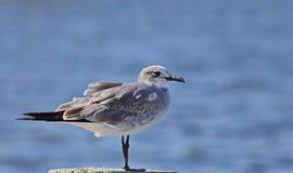 Seagull που απομονώνεται μπροστά από το νερό Στοκ φωτογραφίες με δικαίωμα ελεύθερης χρήσης