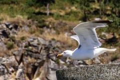 Seagull που αρχίζει την πτήση στοκ εικόνα με δικαίωμα ελεύθερης χρήσης