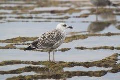 Seagull που εξετάζει τον ορίζοντα Στοκ φωτογραφίες με δικαίωμα ελεύθερης χρήσης