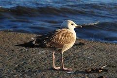 Seagull που εξετάζει τον ωκεανό από μια αποβάθρα στοκ φωτογραφίες