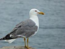 Seagull που ερευνά τη θάλασσα στοκ εικόνες