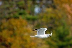 Seagull που καταπίνει ένα ψάρι στοκ εικόνες με δικαίωμα ελεύθερης χρήσης