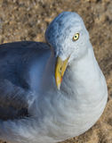 Seagull που κοιτάζει λοξά το φωτογράφο Στοκ Εικόνες