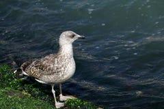 Seagull που περπατά κατά μήκος της ακτής με τα άλγη στη Βενετία στοκ εικόνες