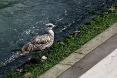 Seagull που περπατά κατά μήκος της ακτής με τα άλγη Στοκ φωτογραφία με δικαίωμα ελεύθερης χρήσης