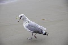 Seagull που περπατά με το στόμα ανοικτό Στοκ Εικόνες