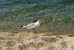 Seagull που περπατά στην παραλία Στοκ εικόνα με δικαίωμα ελεύθερης χρήσης