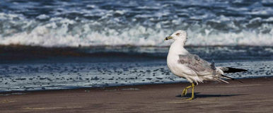 Seagull που περπατά στην παραλία Στοκ Εικόνες