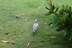Seagull που περπατά στο πάρκο Στοκ φωτογραφίες με δικαίωμα ελεύθερης χρήσης