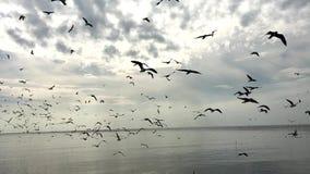 Seagull που πετά, βρίσκει τα τρόφιμα απόθεμα βίντεο