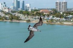 Seagull που πετά επάνω από το Μαϊάμι, Φλώριδα στοκ εικόνα με δικαίωμα ελεύθερης χρήσης