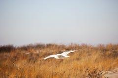 Seagull που πετά κοντά στη χλόη αμμόλοφων Στοκ φωτογραφίες με δικαίωμα ελεύθερης χρήσης