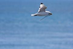 Seagull που πετά με το άχυρο χτίζει τη φωλιά Στοκ εικόνες με δικαίωμα ελεύθερης χρήσης