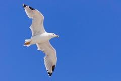 Seagull που πετά σε έναν σαφή ουρανό Στοκ Φωτογραφία