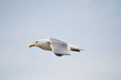 Seagull που πετά στα ύψη πέρα από τη λίμνη Baikal Στοκ Εικόνες