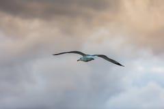 Seagull που πετά στον ουρανό Στοκ φωτογραφία με δικαίωμα ελεύθερης χρήσης