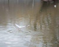 Seagull που πετά στον ουρανό Στοκ εικόνα με δικαίωμα ελεύθερης χρήσης