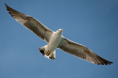 Seagull που πετά στον όμορφο ουρανό Στοκ Εικόνες