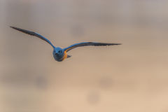 Seagull που πετά στο ηλιοβασίλεμα Στοκ φωτογραφίες με δικαίωμα ελεύθερης χρήσης