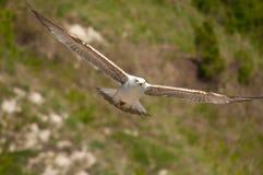 Seagull που πετά χαμηλά Στοκ Φωτογραφίες