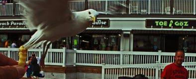 Seagull που πηγαίνει για τα τηγανητά στην παλαιά παραλία οπωρώνων στοκ εικόνα με δικαίωμα ελεύθερης χρήσης