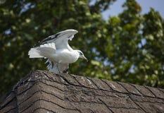 Seagull που προσγειώνεται σε μια στέγη Στοκ Εικόνες