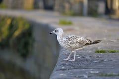 Seagull που στέκεται και που κοιτάζει κάτω Στοκ φωτογραφίες με δικαίωμα ελεύθερης χρήσης