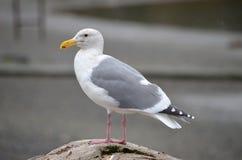Seagull που στέκεται σε έναν βράχο Στοκ Εικόνες