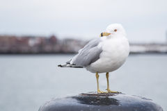 Seagull που στέκεται σε έναν στυλίσκο και που εξετάζει τη κάμερα μια κρύα νεφελώδη ημέρα το χειμώνα Στοκ Φωτογραφία