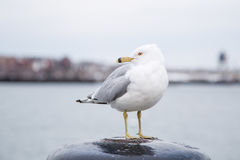 Seagull που στέκεται σε έναν στυλίσκο και που εξετάζει τη κάμερα μια κρύα νεφελώδη ημέρα το χειμώνα Στοκ φωτογραφία με δικαίωμα ελεύθερης χρήσης