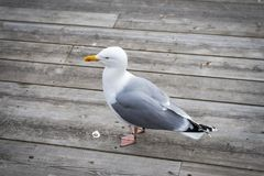 Seagull που στέκεται στην ξύλινη γέφυρα στοκ φωτογραφία με δικαίωμα ελεύθερης χρήσης