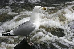 Seagull που στέκεται στο βράχο στο στροβιλιμένος νερό Στοκ φωτογραφίες με δικαίωμα ελεύθερης χρήσης