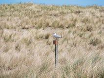 Seagull που στηρίζεται στους αμμόλοφους Ameland, Ολλανδία Στοκ εικόνες με δικαίωμα ελεύθερης χρήσης