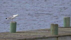 Seagull που τρέπεται σε φυγή σε σε αργή κίνηση φιλμ μικρού μήκους