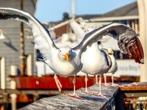 Seagull που τρέχει για να απογειωθεί στον αέρα στοκ φωτογραφία με δικαίωμα ελεύθερης χρήσης