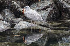 Seagull που τρώει τον αστερία Στοκ Εικόνες