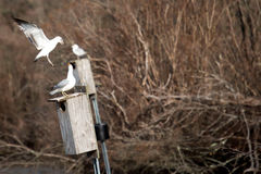 Seagull που υπερασπίζει τη φωλιά του στοκ φωτογραφία με δικαίωμα ελεύθερης χρήσης